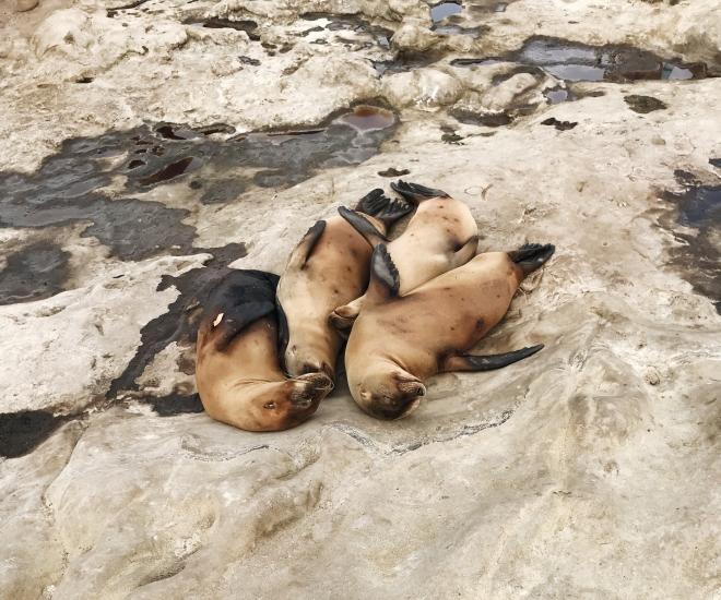 La Jolla Beach Seals San Diego California